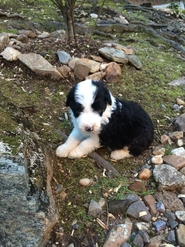Aussiedoodle puppies, Aussiedoodle Dreams Available Puppies
